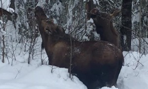 Moose Munching in Severe Snow
