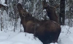 Moose Munching in Severe Snow