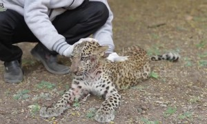Leopard cub learns to walk again after being paralysed in road accident