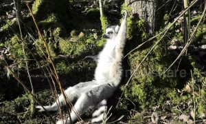UK zoo lemurs enjoy February heatwave