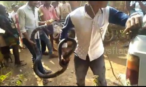 Deadly 16-foot king cobra captured in India after it tried to enter a home