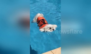 Dog rides out the Aussie heatwave by chilling in the pool