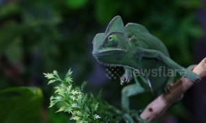 Blink and you'll miss it! Veiled chameleon catches locust in one quick motion