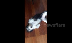 Ticklish dog power-slides into room to get belly rubs