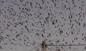 Thousands of Bats Fly Overhead