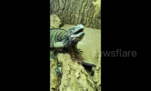 This iguana is so excited when his owner comes home after several days away