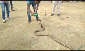 Stressed snake spits out its dinner when rescued