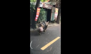 Pig with gigantic testicles filmed waddling in Vietnam street
