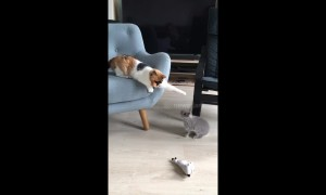 Scaredy-cat can't handle tiny bunny