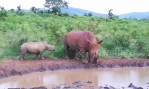 Rhino calf risks its life approaching randy bull wanting to mate with its mum