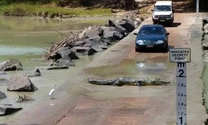 Massive crocodile holds up traffic while crossing roadway