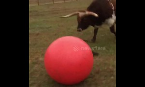 Huge longhorn bull loves playing with ball until he accidentally deflates it