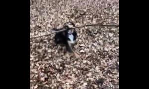 One-year-old puppy determined to play with gigantic stick in Epping Forest