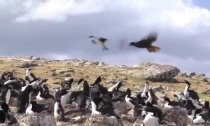 Caracara hawk attempts to steal a baby penguin from a waddle of penguins