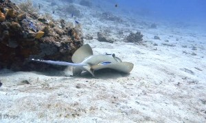 Blue Spotted Stingray Being Cleaned by Fish