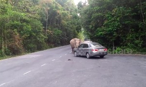 Elephant stops car to look for food