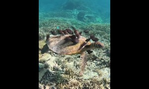 Endangered turtle gets nibbled clean by surgeonfish