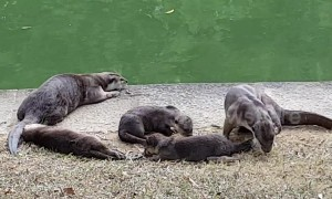 Singapore urban otter family is too cute