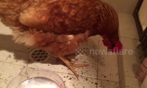 Chickens cool off in shower during Aussie heatwave