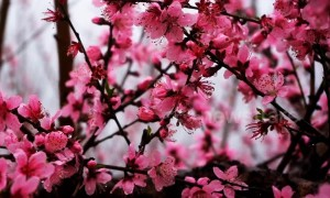 Forest of peach trees bloom in China's Guangdong and cover mountainside in pink