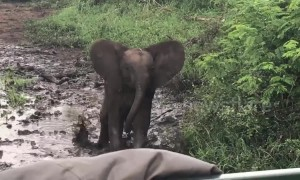 Cocky elephant calf shows buffalo who's boss while protecting his herd
