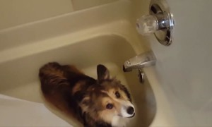 Corgi LOVES the Shower!