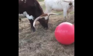 Tex the bull gets a new red ball and he loves it!