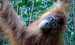 Trekkers have amazing encounter with endangered orangutans in Indonesia