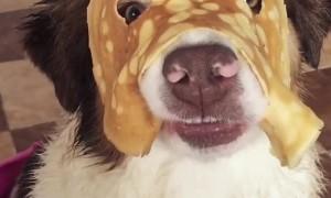 Australian Shepherd Wears a Pancake Mask