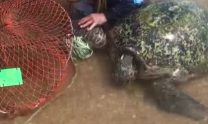 Tangled Turtle Rescued from Crab Pots and Rope
