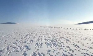 Snowmobiler crosses paths massive herd of wild rabbits