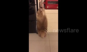 Greedy raccoon tries to steal his favourite biscuits in kitchen