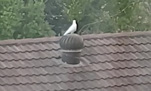 Bird Takes a Ride on Spinning Roof Vent