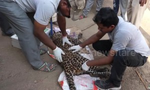 Leopard rescued from steel-jaw trap set up by poachers