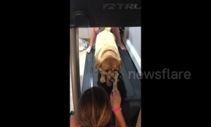What more motivation do you need? Yellow Labrador exercises for treats