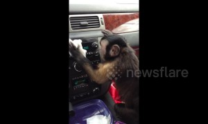 Monkey carefully polishes car dashboard and examines reflection in mirror