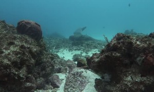 Excited Diver Has Close Encounter with Sharks