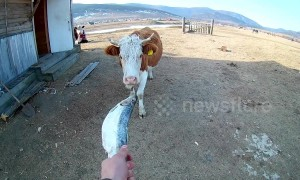 Bizarre moment cow eats a fish
