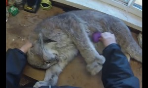 Adorable lynx absolutely loves to be brushed