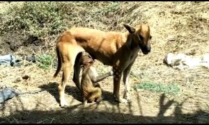 Dog adopts abandoned baby monkey in India