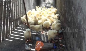 Dozens of chicks are rescued after falling into motorway storm drain