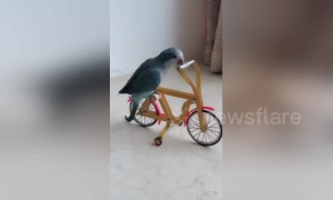 Well-trained parrot shows off incredible skills using tiny tools