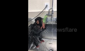 Baby chimpanzee takes a shower using a sink faucet