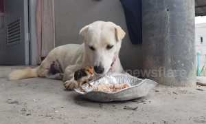 Dog shares his lunch with tiny chick in sweet show of friendship