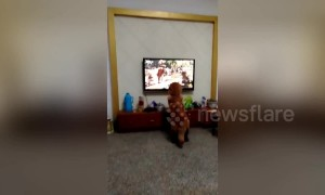 Golden retriever scared by tiger on TV