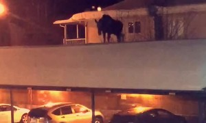 Moose on a Roof