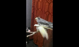Pair of male cockatiels share very close bond