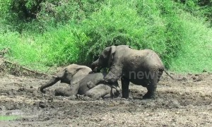 Playful elephants enjoy mucky sibling wrestle in river mud