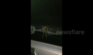 Driver spots 'zombie deer' standing motionless on US road