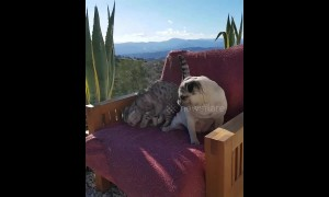 Cat wrestles pug off favourite cozy chair